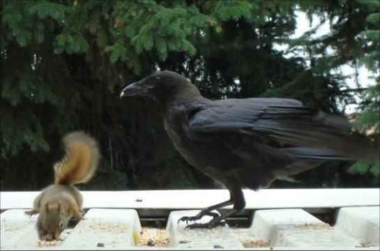 Crow and Squirrel picture of the day by SamediSearch